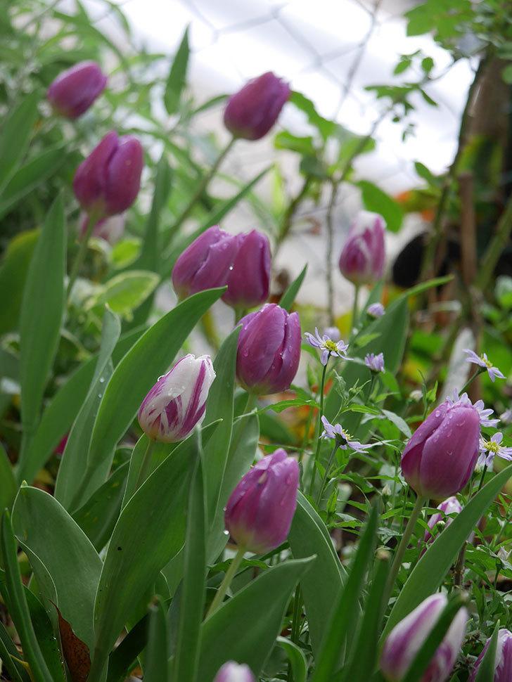 パープルフラッグとフレミングフラッグの花がたくさん咲いた。2021年-095.jpg