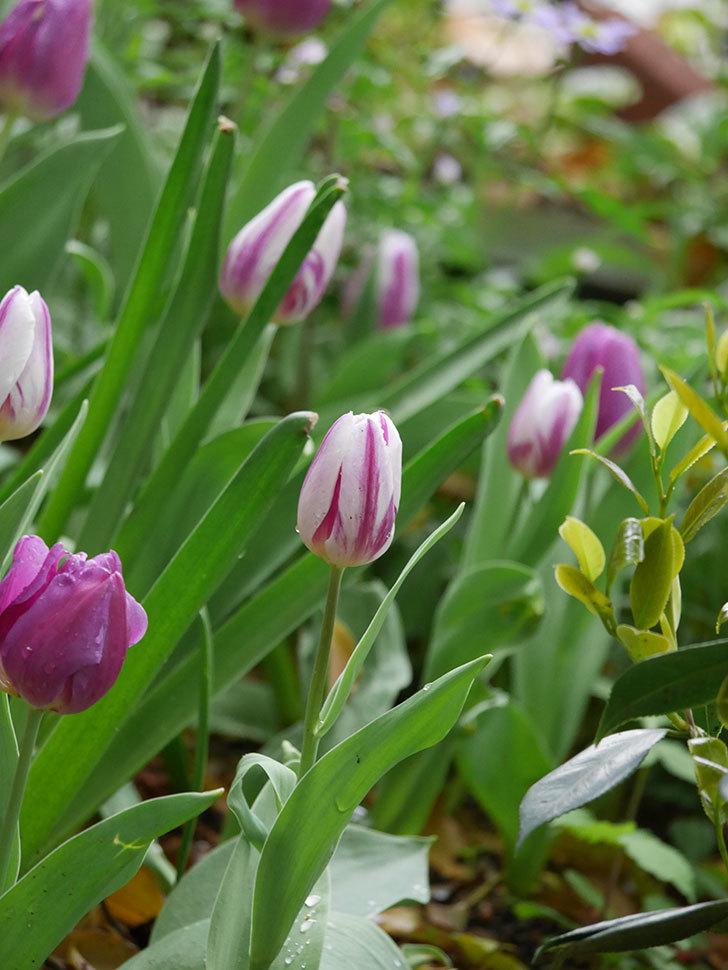 パープルフラッグとフレミングフラッグの花がたくさん咲いた。2021年-096.jpg