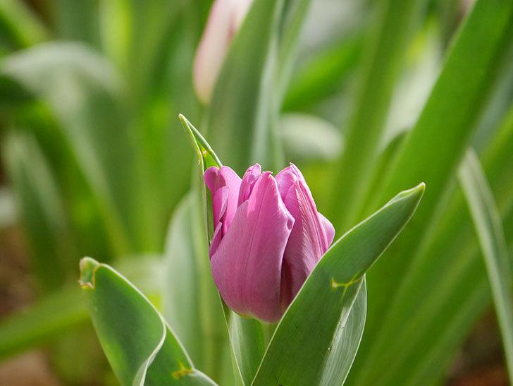 パープルフラッグの花が咲いた。2021年-002.jpg