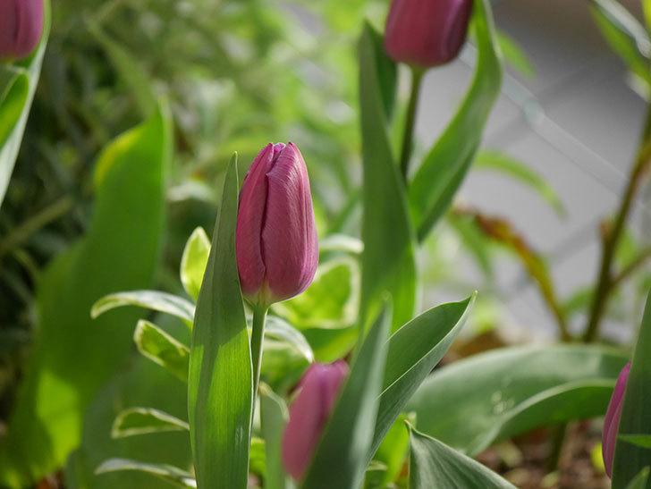 パープルフラッグの花が咲いた。2021年-003.jpg