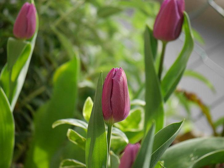 パープルフラッグの花が咲いた。2021年-004.jpg