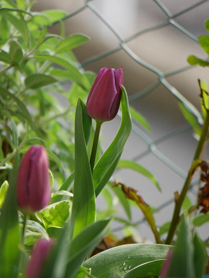 パープルフラッグの花が咲いた。2021年-006.jpg