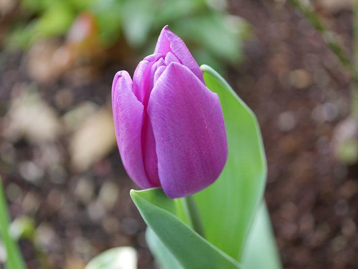 パープルフラッグの花が咲いた。2021年-013.jpg