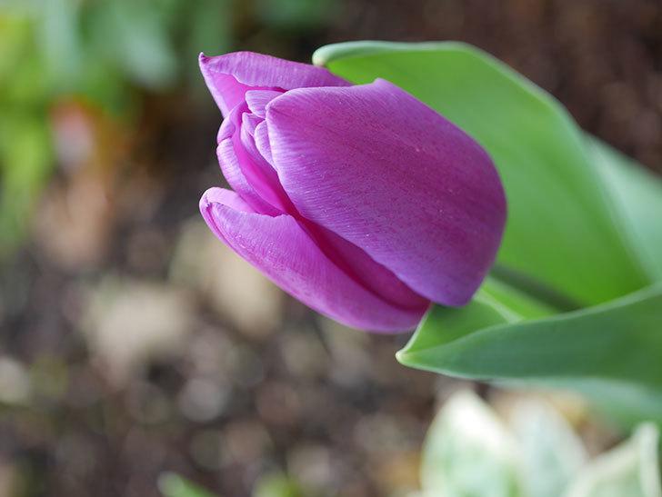 パープルフラッグの花が咲いた。2021年-014.jpg
