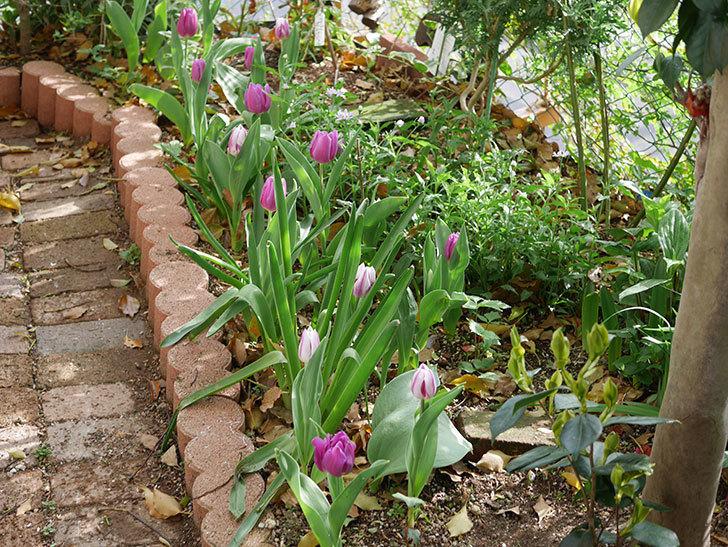 パープルフラッグの花が咲いた。2021年-015.jpg