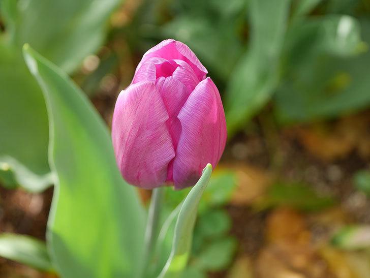 パープルフラッグの花が咲いた。2021年-026.jpg