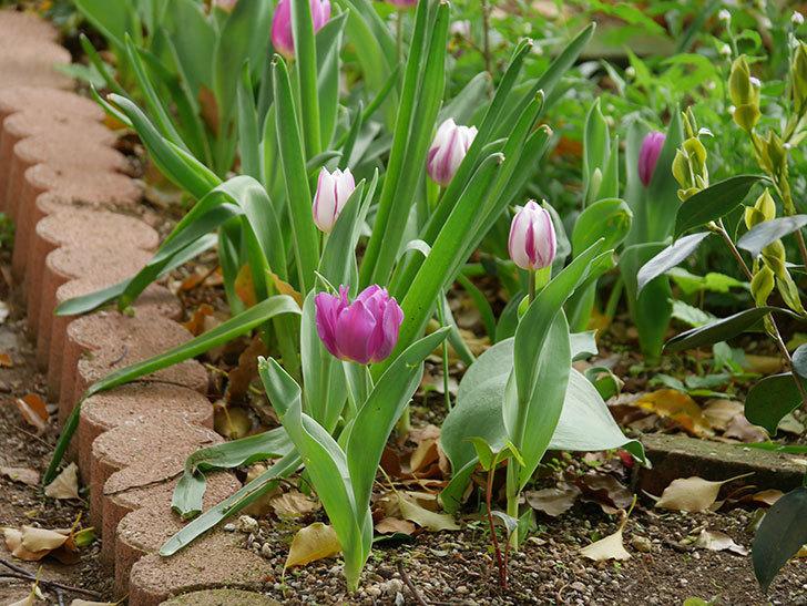 パープルフラッグの花が咲いた。2021年-028.jpg