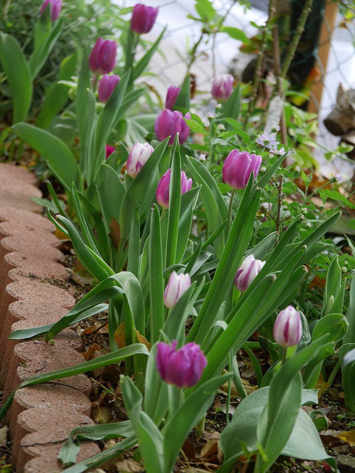 パープルフラッグの花が咲いた。2021年-029.jpg