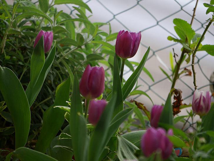 パープルフラッグの花が咲いた。2021年-030.jpg