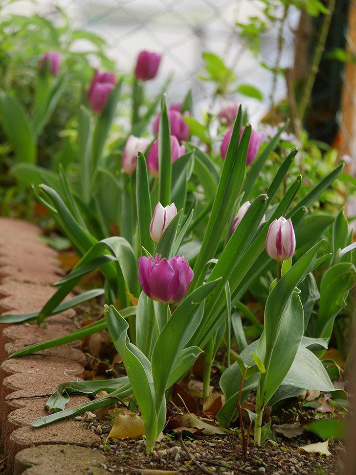 パープルフラッグの花が咲いた。2021年-031.jpg