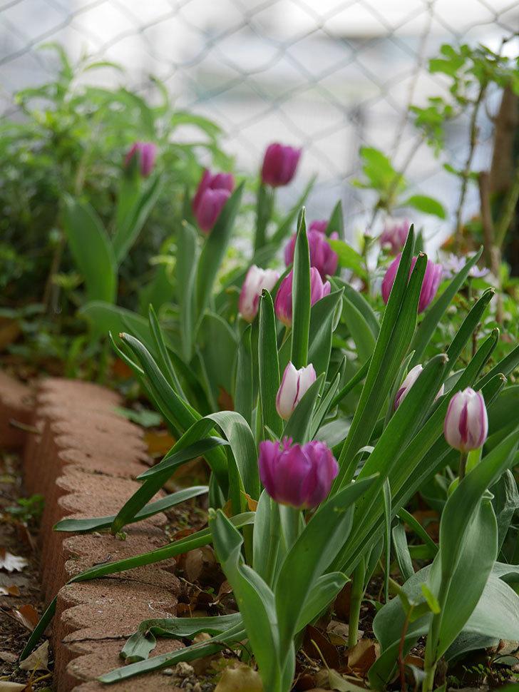 パープルフラッグの花が咲いた。2021年-032.jpg