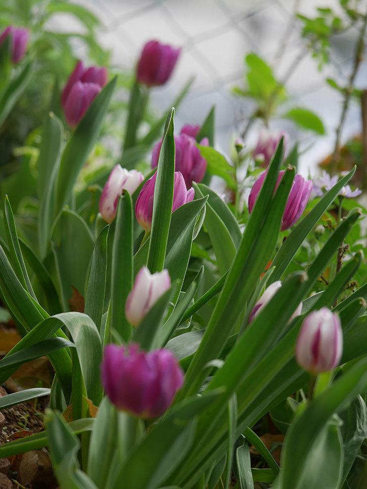 パープルフラッグの花が咲いた。2021年-033.jpg