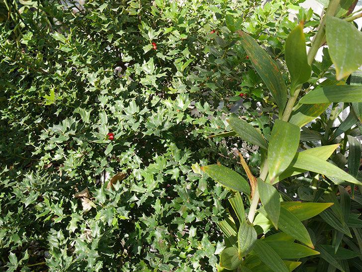 ヒイラギの木に実がついた。2017年-4.jpg