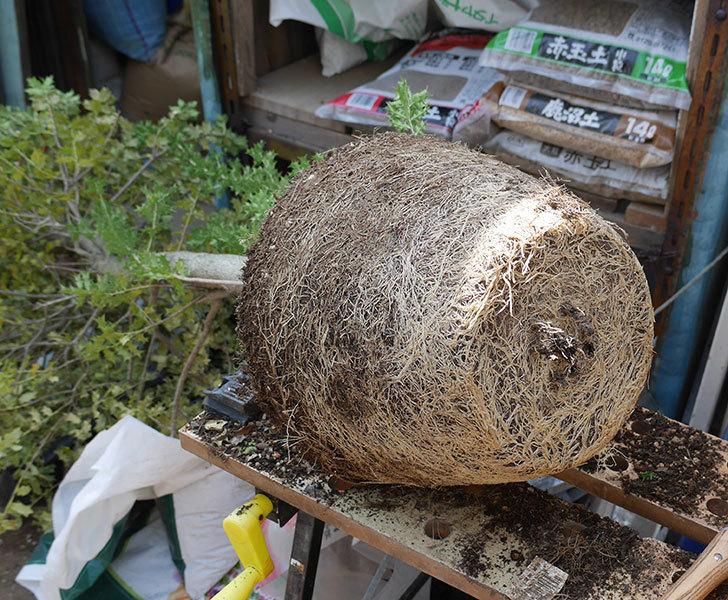 ヒイラギの鉢の植え替えをした。2019年-1.jpg