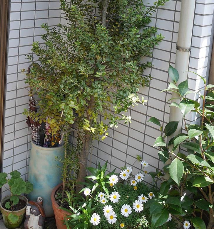 ヒイラギの鉢の植え替えをした。2019年-2.jpg