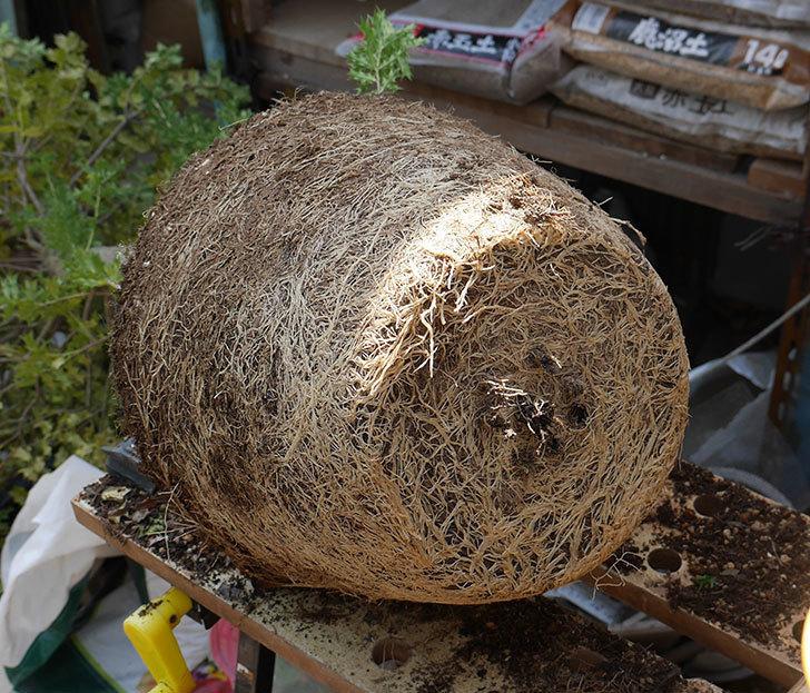 ヒイラギの鉢の植え替えをした。2019年-4.jpg