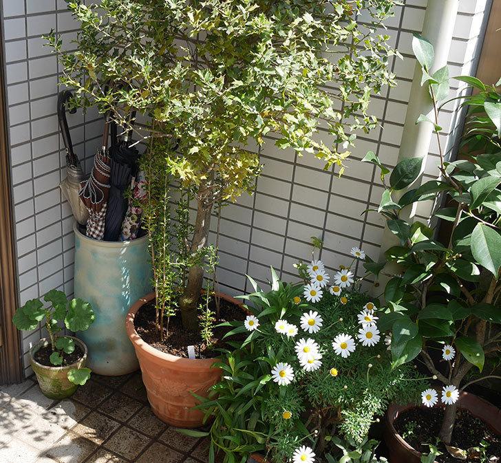 ヒイラギの鉢の植え替えをした。2019年-6.jpg