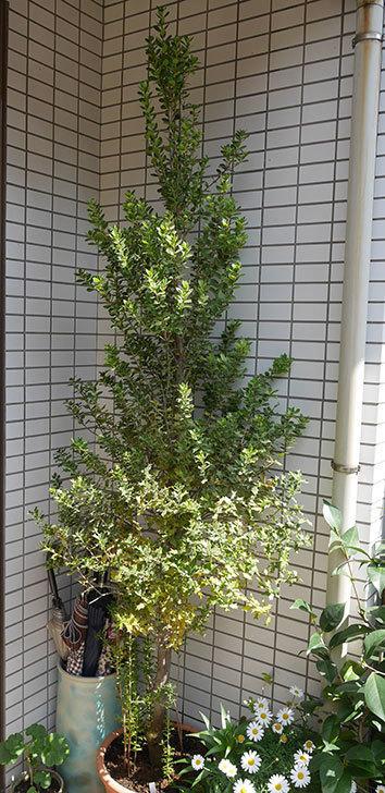 ヒイラギの鉢の植え替えをした。2019年-7.jpg