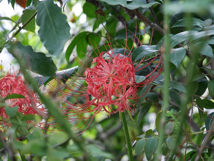 ヒガンバナ(彼岸花)の花が咲いた。2020年-008.jpg