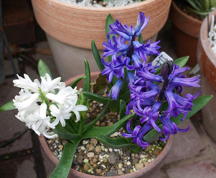 ヒヤシンス-ブルーファンタジーの花が咲いた。2019年-1.jpg