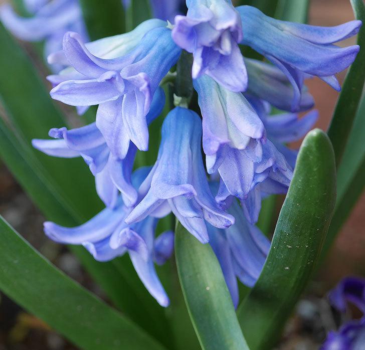 ヒヤシンス-ブルーファンタジーの花が咲いた。2020年-4.jpg