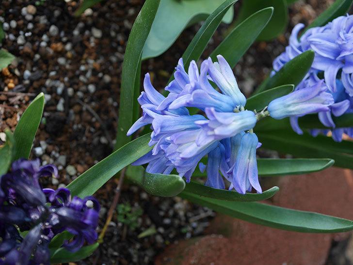 ヒヤシンス-ブルーファンタジーの花が咲いた。2020年-5.jpg
