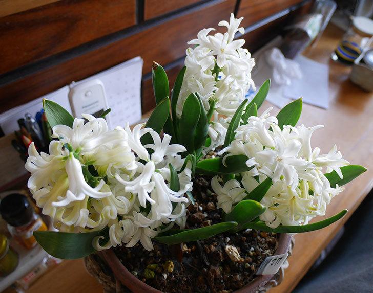 ヒヤシンス-ブルーファンタジーの花が綺麗に咲いた。2019年-9.jpg