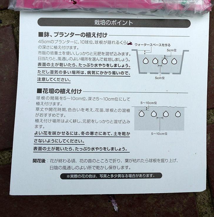 ヒヤシンスの球根がケイヨーデイツーで198円だったので3袋買って来た。2016年-6.jpg