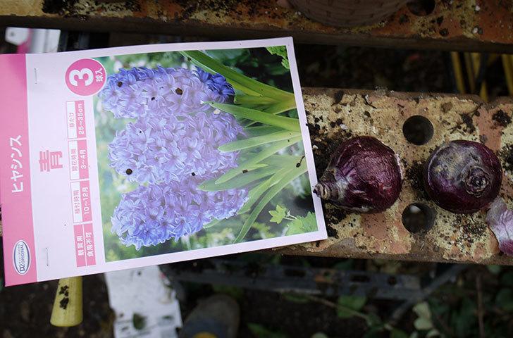 ヒヤシンスの球根を鉢に植えた。2016年-6.jpg