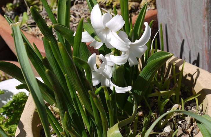 ヒヤシンスの花が咲いた1.jpg