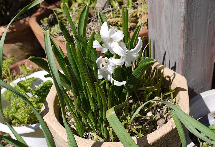 ヒヤシンスの花が咲いた2.jpg