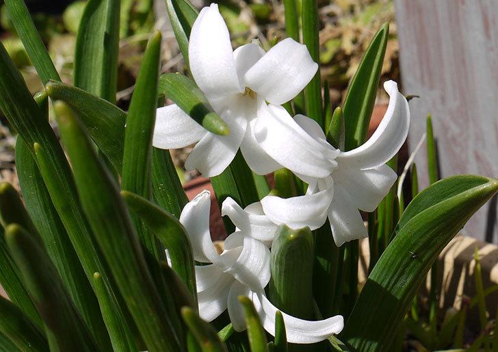 ヒヤシンスの花が咲いた3.jpg