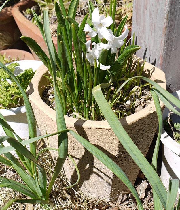 ヒヤシンスの花が咲いた4.jpg