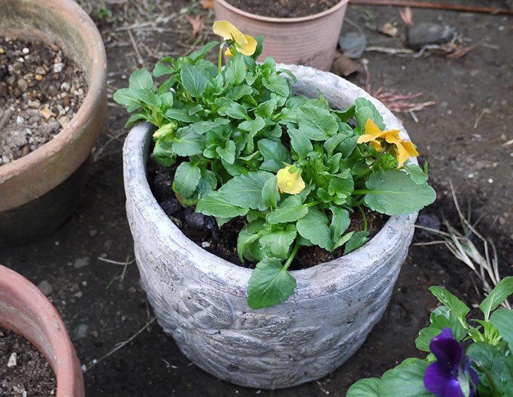ビオラを鉢に植え替えた2.jpg