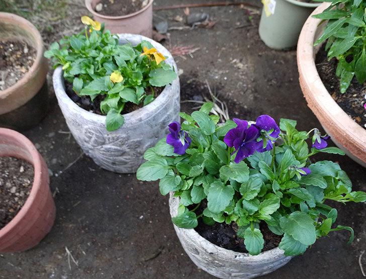 ビオラを鉢に植え替えた3.jpg
