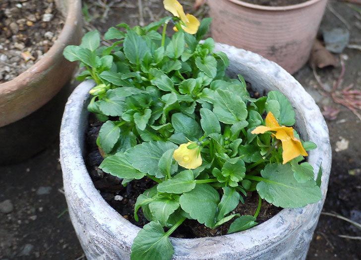 ビオラを鉢に植え替えた5.jpg