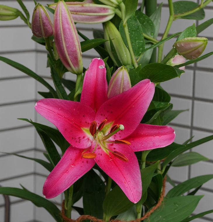ビビアナ(ユリ)の花が1個咲いた。2019年-1.jpg