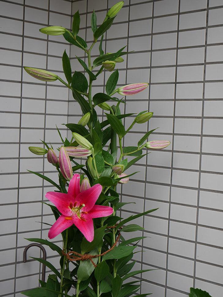 ビビアナ(ユリ)の花が1個咲いた。2019年-5.jpg