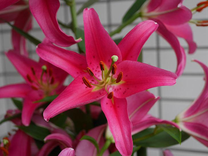 ビビアナ(ユリ)の花がたくさん咲いた。2019年-2.jpg