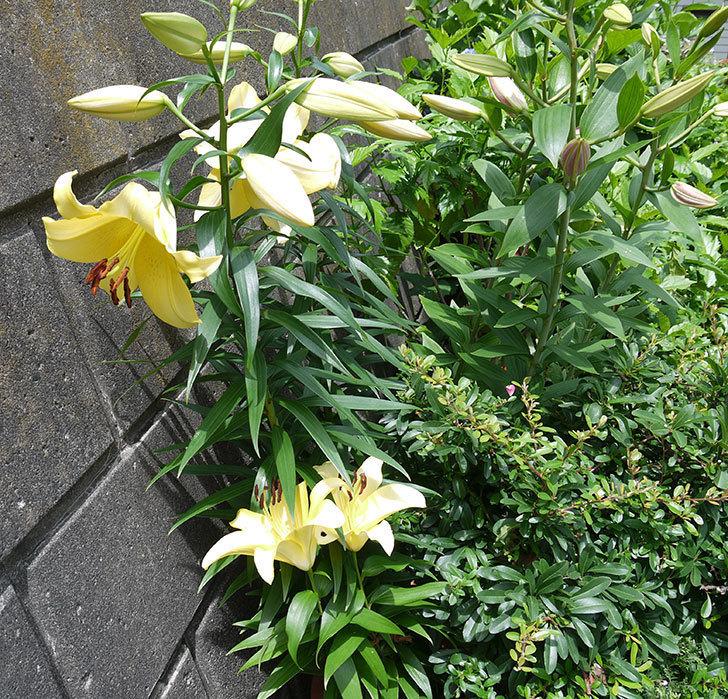 ビビアナ(ユリ)の花が咲いた。2017年-8.jpg