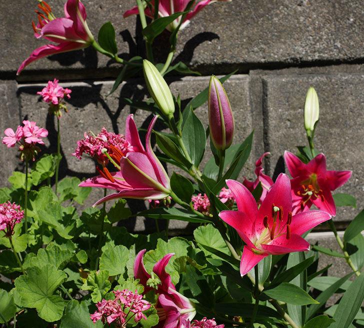 ビビアナ(ユリ)の花が咲いた。2018年-2.jpg