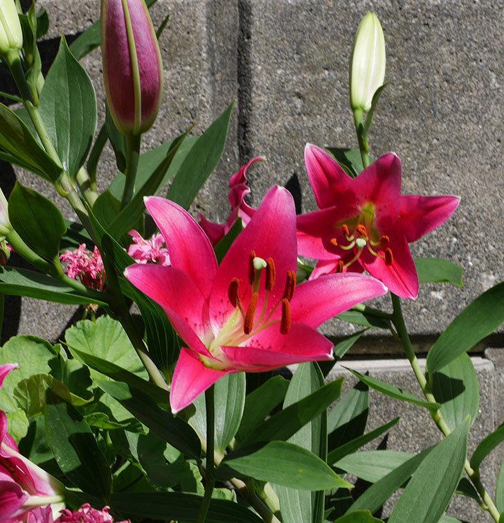 ビビアナ(ユリ)の花が咲いた。2018年-3.jpg