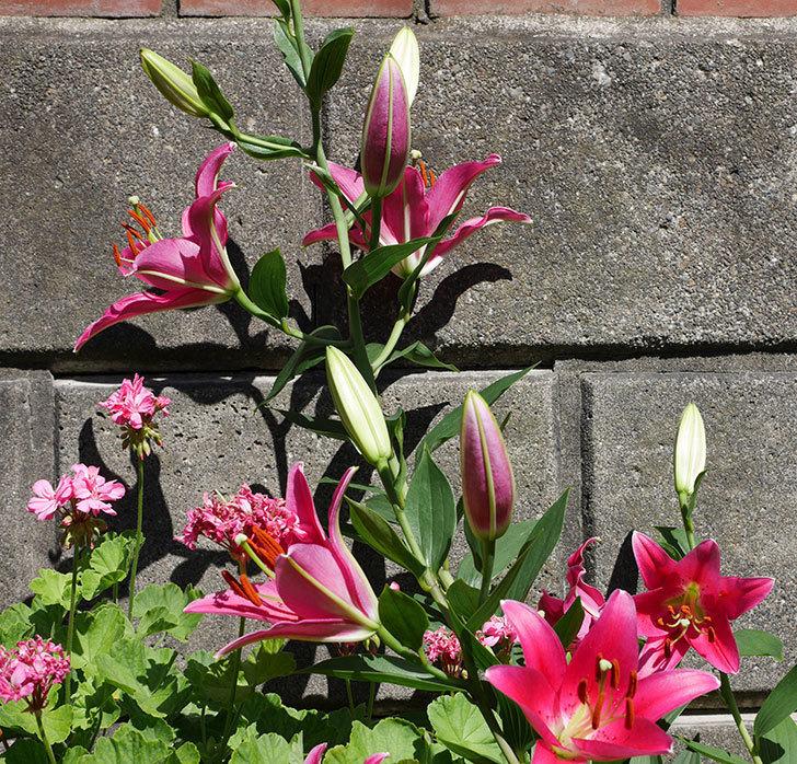 ビビアナ(ユリ)の花が咲いた。2018年-6.jpg