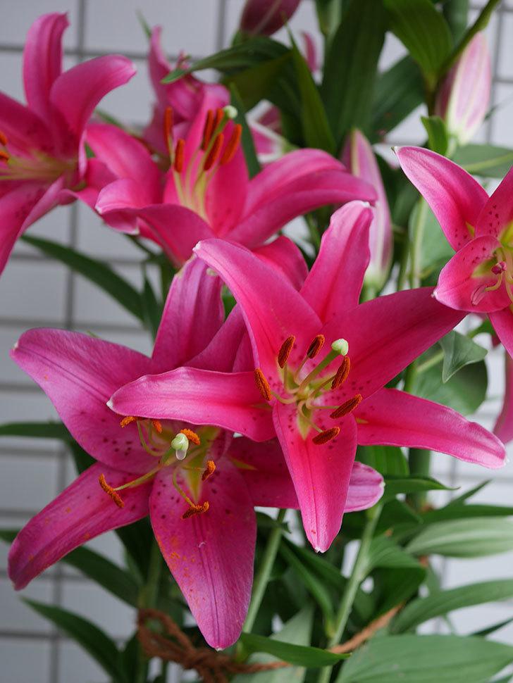 ビビアナ(ユリ)の花が増えて来た。2019年-1.jpg