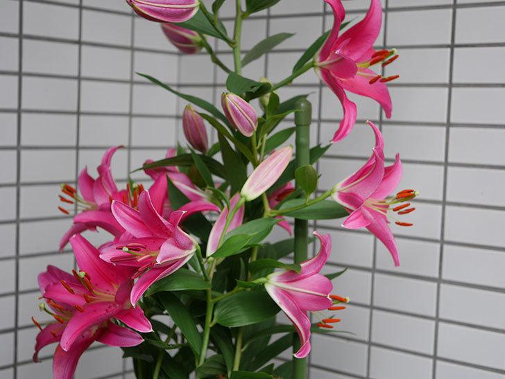 ビビアナ(ユリ)の花が増えて来た。2019年-5.jpg