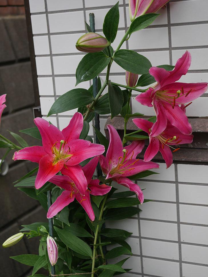 ビビアナの花が咲いた。2020年-002.jpg