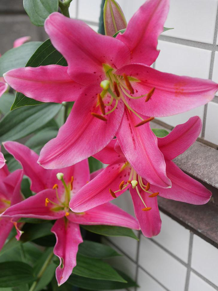 ビビアナの花が咲いた。2020年-016.jpg