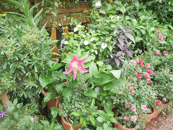 ビビアナの花が咲いた。2021年-013.jpg