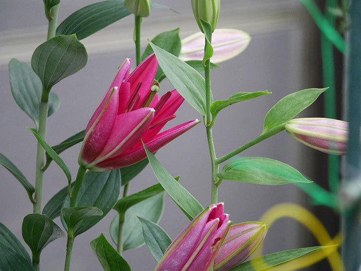 ビビアナの花が咲きだした。2020年-001.jpg