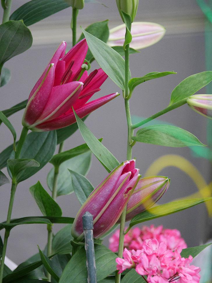 ビビアナの花が咲きだした。2020年-002.jpg